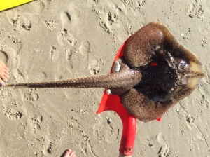 A decomposing skate found in Cape May. We examined it's partially detached jaw bone.